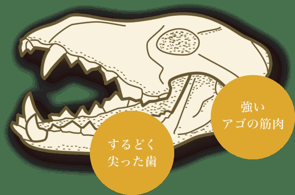 肉を引き裂いて食べるための歯・アゴ